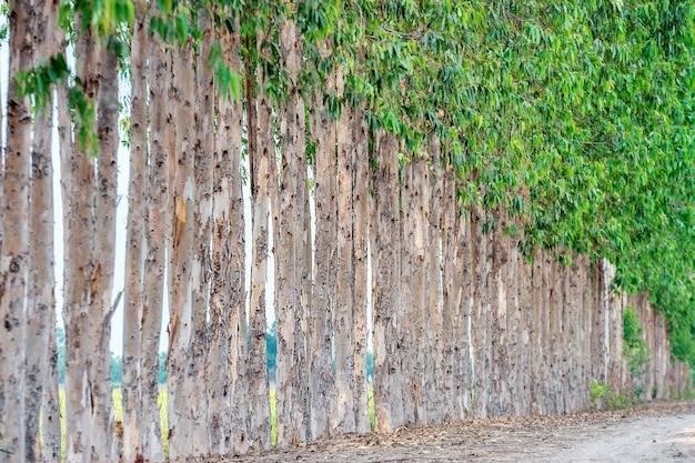 Fila de eucalipto para la industria papelera.