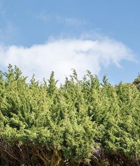 Fila de pino bajo el cielo nublado.