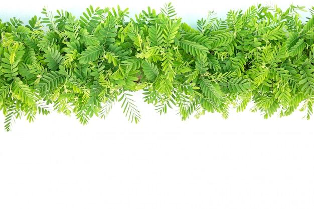 Fila de ramas de árboles de tamarindo verde joven