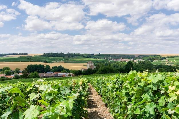 Fila de uva en viñedos de champán