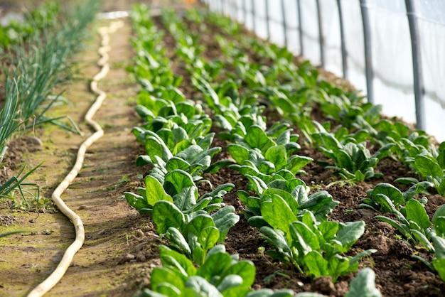 Filas de espinacas pequeñas que crecen en invernadero
