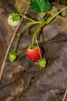 Filas de fresas en una granja de fresas