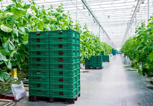 Filas de pepinos cultivados en un invernadero.