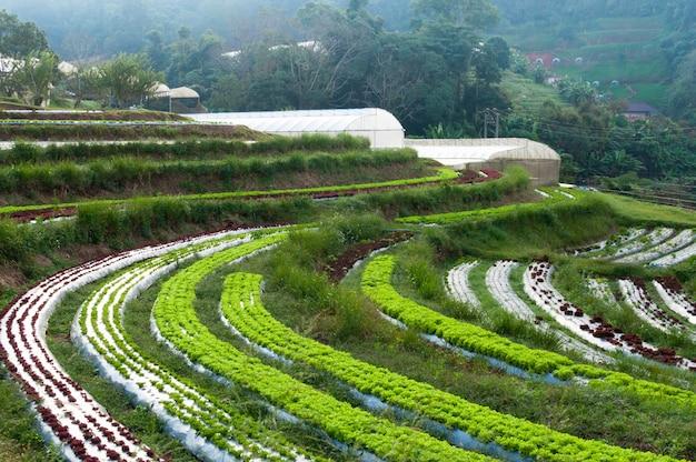 Filas de plantación de lechuga fresca y vegetales de agricultura familiar e invernadero en el campo en tailandia