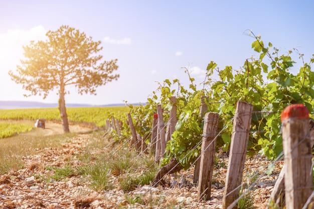 Filas de viñedos en día soleado
