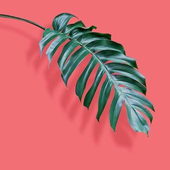 Filodendro de hojas tropicales sobre coral.
