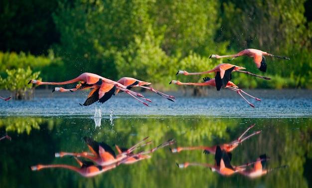 Flamencos caribeños volando sobre el agua con reflejo. cuba. reserva rio maximã â °.
