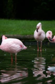Flamencos de color rosa
