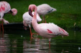 Flamencos rosa, namibia