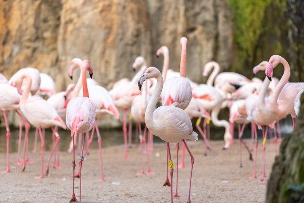 Flamencos rosados, phoenicopterus roseus, descansando en la orilla de un lago.