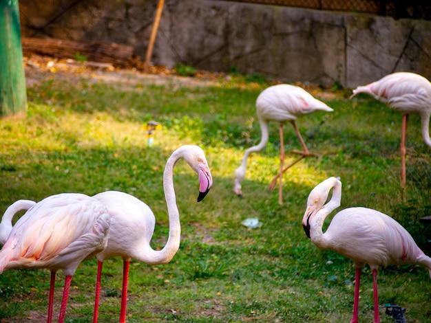 Los flamencos tienen una hermosa pata roja, rosa y pata trasera en el campo de hierba