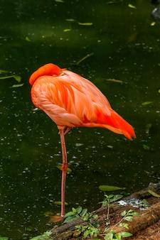 Flamingo closeup sobre oscuro
