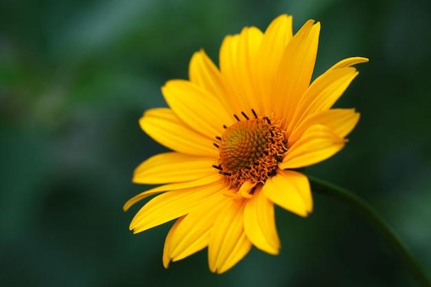Flor amarilla de la alcachofa de jerusalén, topinambur