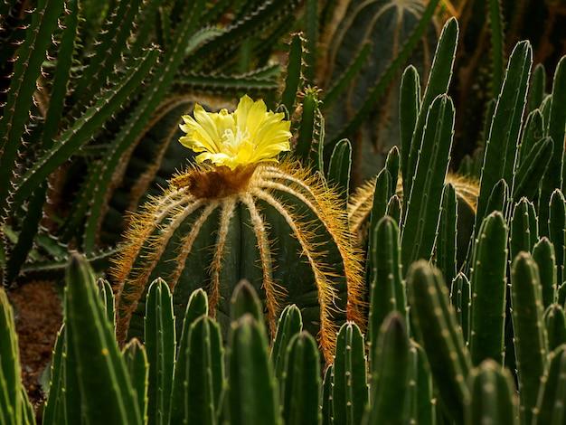 Flor amarilla de cactus