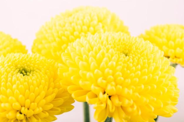 Flor amarilla del crisantemo aislada sobre el fondo blanco