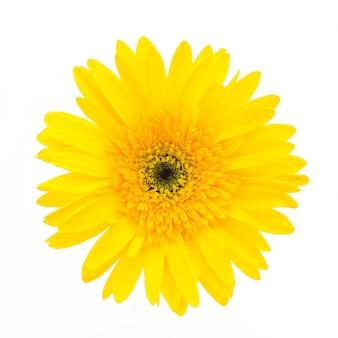 Flor amarilla en un fondo blanco