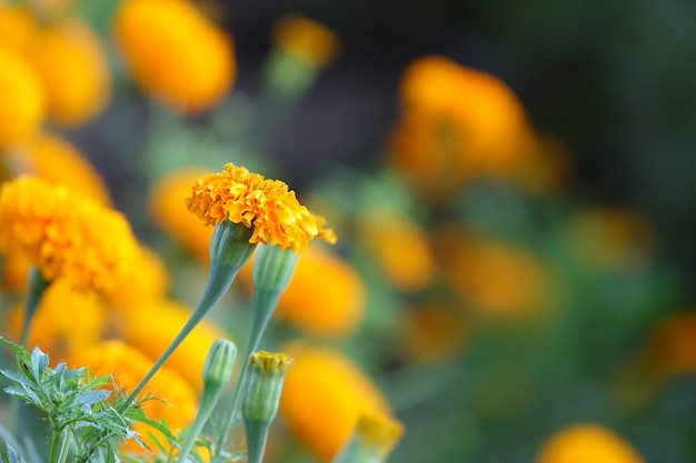 Flor amarilla con un fondo de flores amarillas desenfocadas