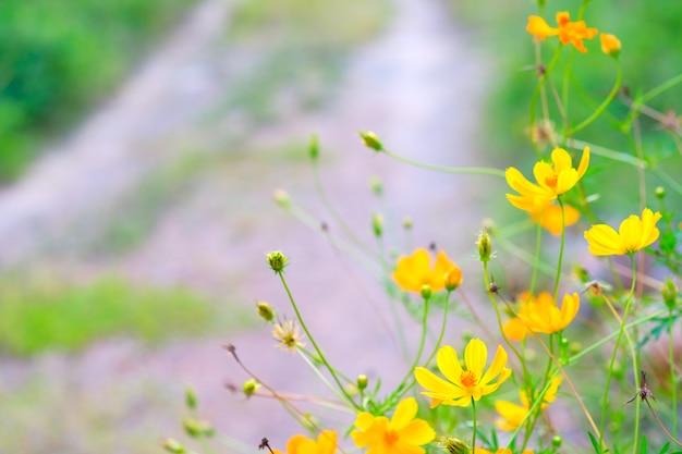 Flor amarilla hermosa del color y campo borroso del hogar del jardín del camino.