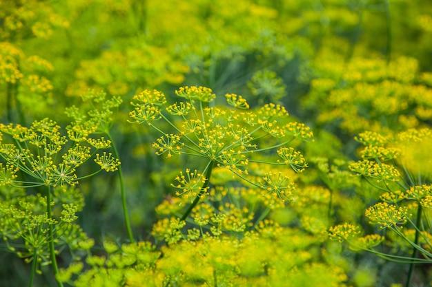 Flor amarilla de hinojo de eneldo verde en el jardín como fondo natural de verano