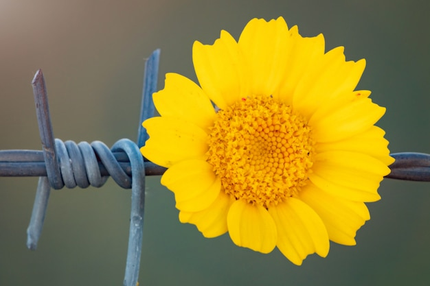 Flor amarilla que sostiene en una cerca de alambre