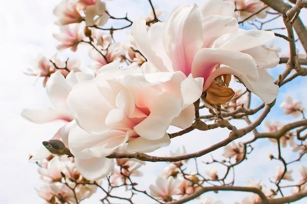 Flor de arbol de magnolia