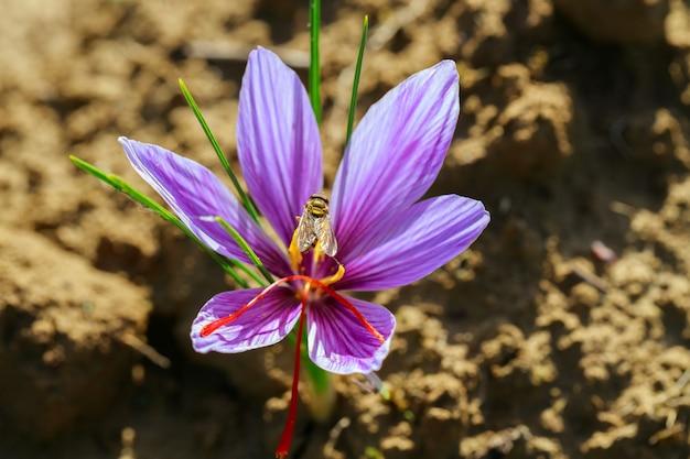 Flor de azafrán que crece en el suelo