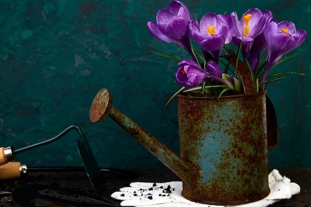 Flor de azafrán en regadera. primavera, herramientas de jardinería