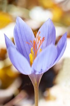 Flor azul azafrán crocus ligusticus en el bosque