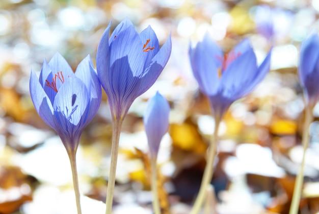Flor azul crocus ligusticus (azafrán) en el bosque