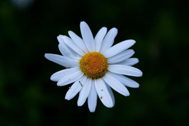 Flor blanca y amarilla sobre un fondo oscuro