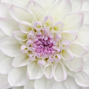 Flor blanca de la dalia