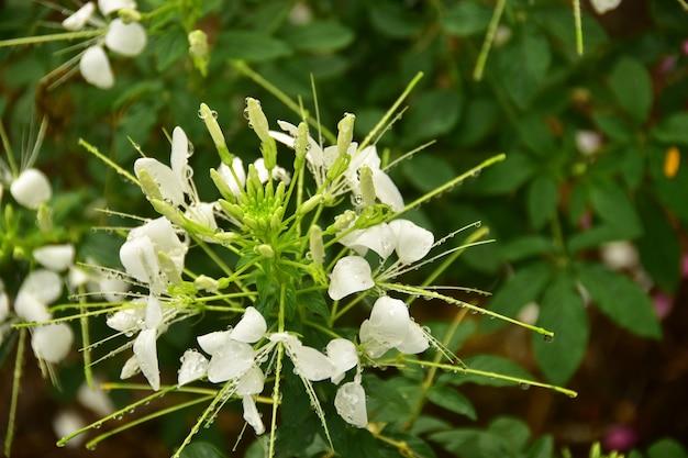Flor blanca con la gota de agua en el jardín.