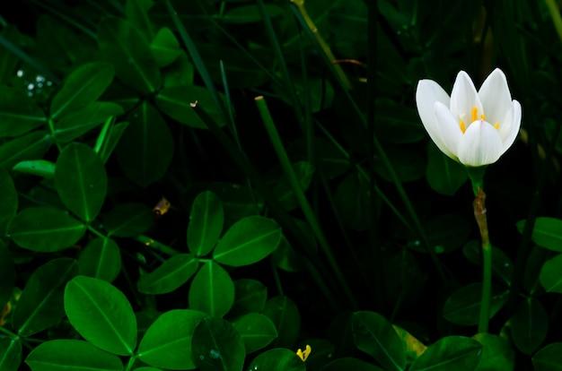 La flor blanca del lirio de la lluvia del color que florece en la estación de la lluvia en verde oscuro deja el fondo.