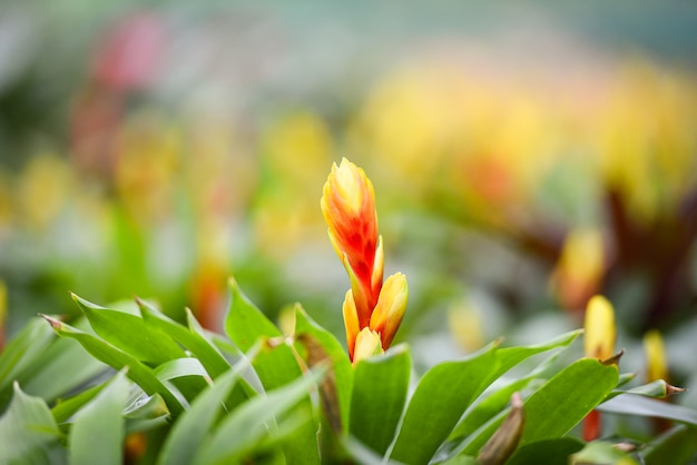 La flor de la bromelia adorna / el fondo rojo y amarillo hermoso de las plantas de vivero del jardín de la bromelia