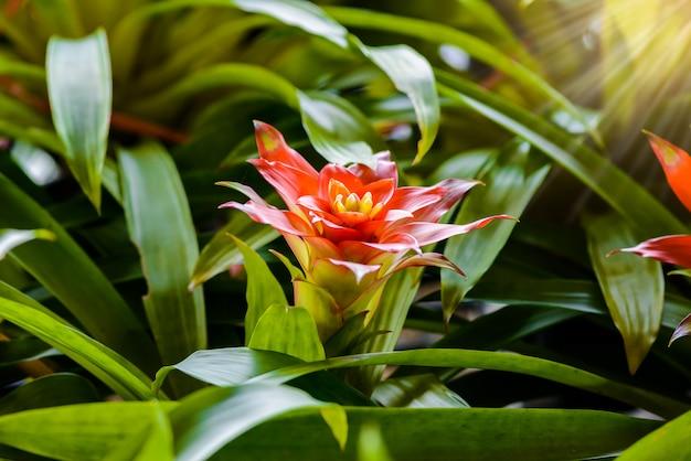 Flor de la bromelia en el jardín.