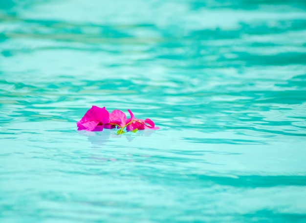 Flor de buganvilla púrpura en la superficie de la piscina.