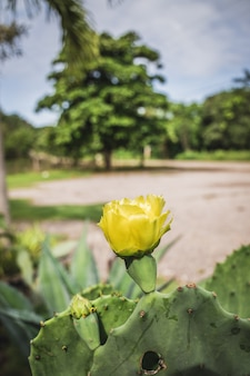 Flor de cactus amarillo, opuntia ficus-indica.