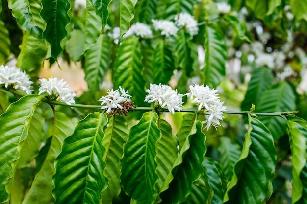 Flor de café que florece en el árbol
