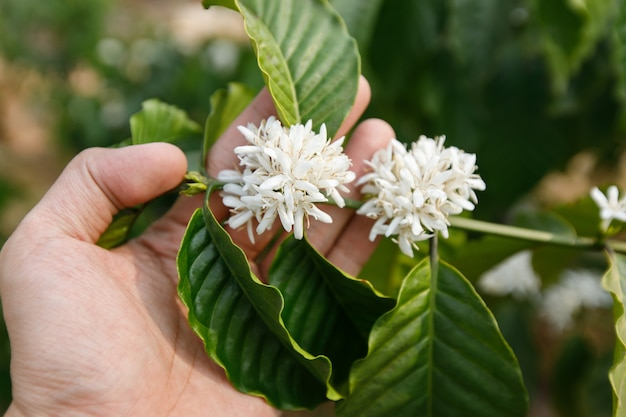 Flor de café que florece en el árbol.