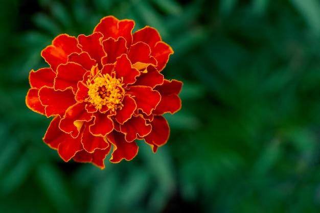 Flor de caléndula grande individual en jardín, vista superior