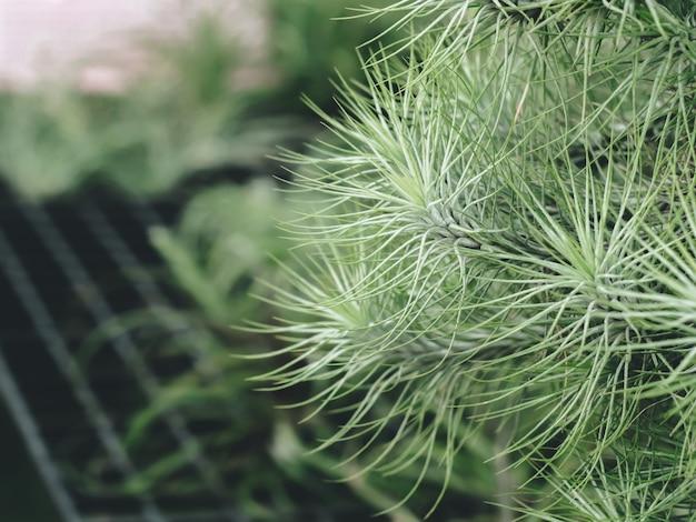 Flor de caramelo de algodón tillandsia (bromelia) con jardín verde, planta única