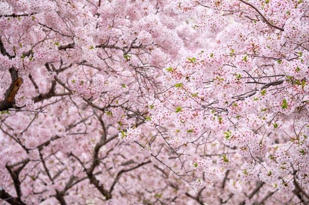 Flor de cerezo en flor de sakura