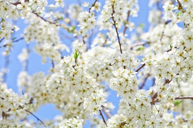 Flor de cerezo con flores blancas.