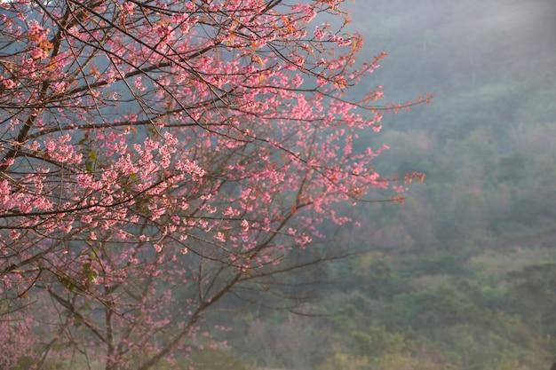 Flor de cerezo de himalaya salvaje en la colina y la luz en el fondo de la mañana