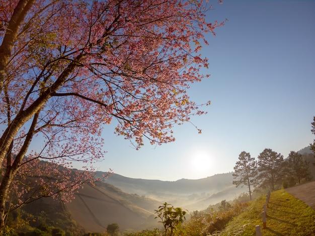 Flor de cerezo himalayan salvaje en la montaña en el paisaje de la opinión de la salida del sol en tailandia.