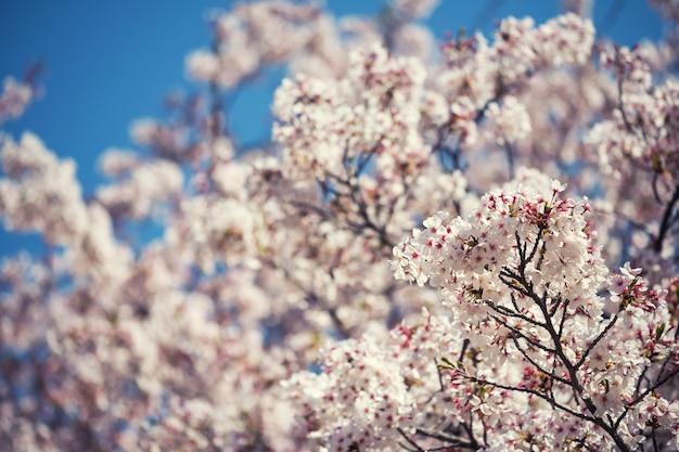 Flor de cerezo o sakura y cielo azul