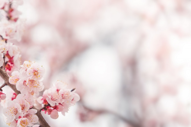Flor de cerezo en primavera para fondo o copia espacio para texto
