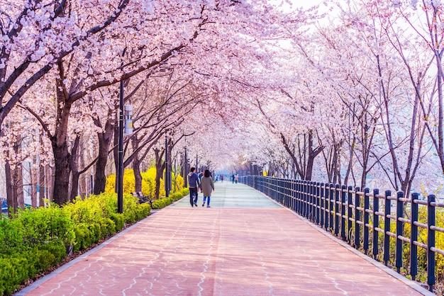 Flor de cerezo de la primavera en seúl