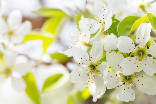 Flor de cerezo en primavera