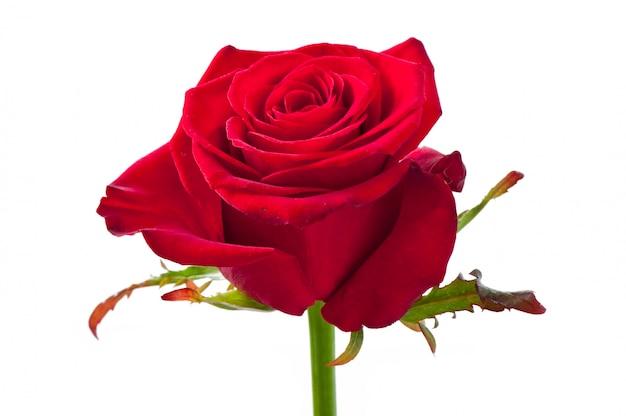 Flor color de rosa en blanco aislado
